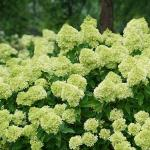 Hydrangea paniculata LITTLE LIME ®