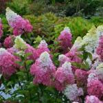 Hydrangea paniculata SUNDAE FRAISE ®