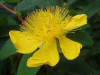 Hypericum Calycinum/ Olympicum Orbáncfű fajták