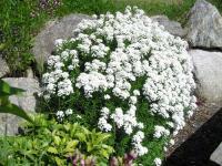 Iberis Tatár virág