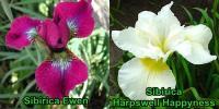 Iris - nőszirom