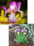 Iris Nőszirom fajták
