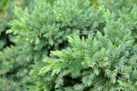 Juniperus - Kúszó boróka (Blue pacific)