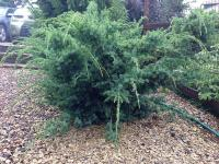 Juniperus chinensis BLUE ALPS - Kék Alpok kínai boróka