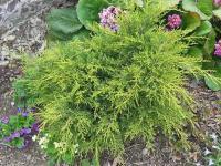 Juniperus chinensis MORDIGAN AUREA