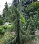 Juniperus communis HORSTMANN - Csüngő boróka