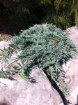 Juniperus horizontalis ICEE BLUE