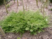 Juniperus Procumbens Avasi