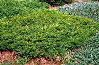 Juniperus sabina 'BROADMOOR'