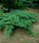 Juniperus sabina ROCKERY GEM 20/40