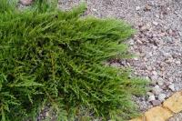 Juniperus sabina ROCKERY GEM 20/40