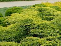 Juniperus x pfitzeriana DIERKS GOLD