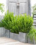 Ligustrum ovalifolium GREEN DIAMOND