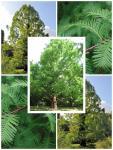 Metasequoia glyptostroboides Kínai mamutfenyő