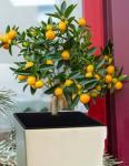 panamai narancs fa