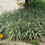 Phalaris arundinacea 'Feesey' csíkos pántlikafű
