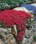 Phlox lángvirág Douglasii fajták