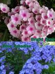 Phlox lángvirág Paniculata fajták