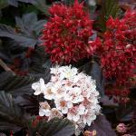 Physocarpus opulifolius RED BARON Hólyagvessző