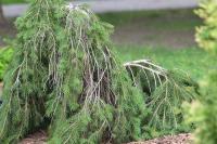 Picea abies FORMANEK - Kúszó törpe lucfenyő