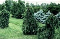 Picea abies INVERSA - Csüngő lucfenyő