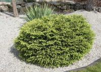Picea abies NIDIFORMIS - Fészek lucfenyő