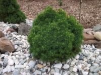 Picea glauca ALBERTA GLOBE - Gömb cukorsüvegfenyő