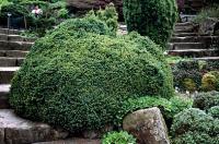 Picea mariana NANA - Törpe fekete lucfenyő