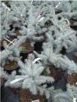Picea Pungens Edith Ezüstfenyő