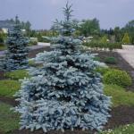 Picea pungens HOOPSII Ezüstfenyő