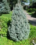 Picea pungens ISELI FASTIGIATE Oszlopos ezüst fenyő
