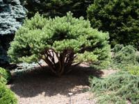 Pinus sylvestris SAXATILIS