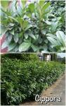Prunus Babérmeggy fajták 1.