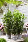 Prunus laurocerasus OBELISK Babér