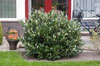 Prunus laurocerasus OTTO LUYKEN Babér