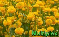 Ranunculus - boglárka