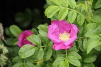 Rosa RUGOSA Japán rózsa