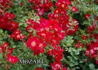 Rosa Talajtakaró rózsa  fajták