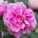 Rosa THÉRÉSE BUGNET Bokor rózsa