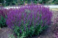 Salvia nemorosa Ligeti zsálya