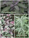 Salvia officinalis - Orvosi zsálya fajták