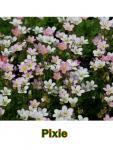 Saxifraga Kőtörőfű fajták