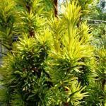 Taxus baccata AUREA