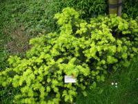 Taxus baccata Repandens Aurea Terülő tiszafa