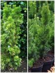 Taxus x media STRICTA VIRIDIS