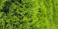 Thuja occidentalis Brabant 60/80 cm