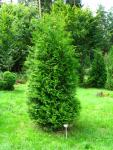 Thuja occidentalis Brabant 20/40 cm