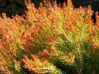 Thuja occidentalis FIRE CHIEF