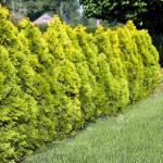 Thuja occidentalis Golden Brabant