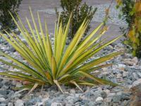 Yucca flaccida Golden Sword - Sárga-csíkos pálmaliliom